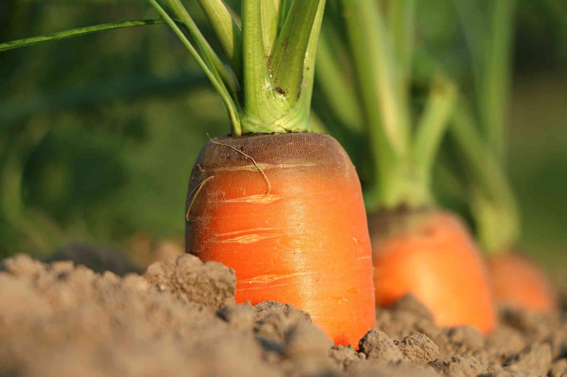 carrot-190308-72